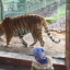 Toddler Imitating Tiger's 'Roar' Soon Regrets It