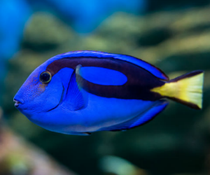 Child wants a blue tang fish from Finding Dory: why you shouldn't buy