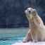 Why you should visit Inuka the polar bear, who just turned 26 at the Singapore Zoo
