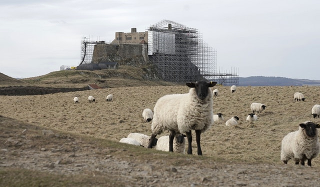 More sheep as work continues at the castle (Owen Humphreys/PA)